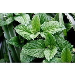 Mint Leaves 100gm
