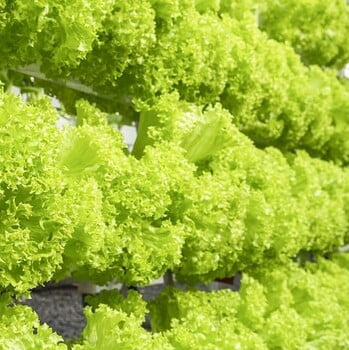 Hydroponics Lettuce Green Curly 100gm (Direct from farm)