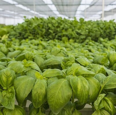 Hydroponics Italian Basil 100gm (Direct from farm)