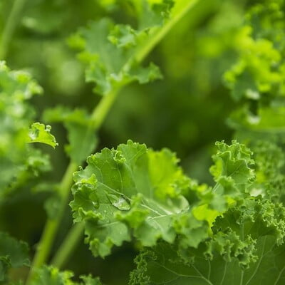 Hydroponics Curly Kale 100gm (Direct from farm)