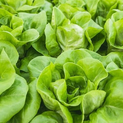 Hydroponics Lettuce Butterhead 100gm (Direct from farm)