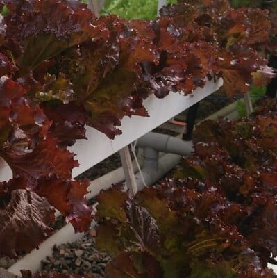 Hydroponics Lettuce red(Black Rose)100gm (Direct from farm)