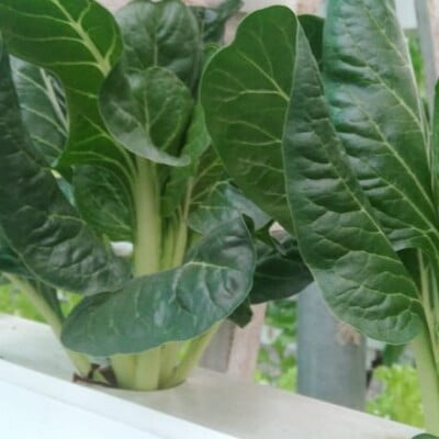 Hydroponics Swiss Chard 100gm (Direct from farm)